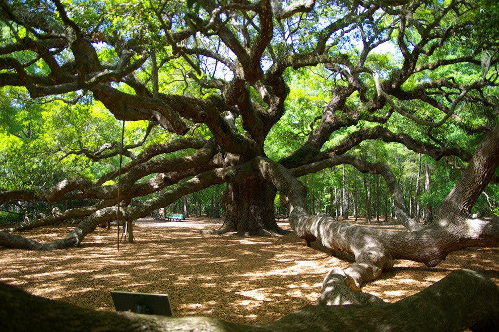 St. John's Island holds this massive ancient oak tree