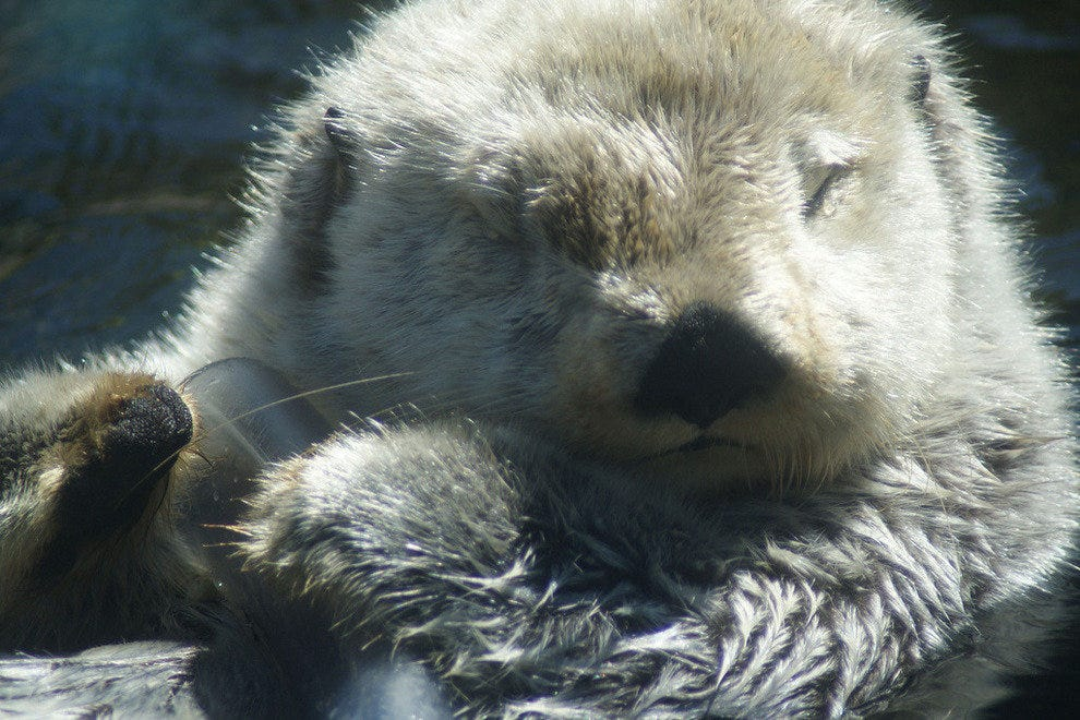 A sleep otter at the Vancouver Aquarium