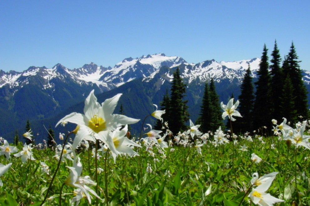 Avalanche lillies bloom at the foot of the Olympic Mountains.