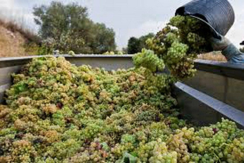 Grape Harvest in Penedes