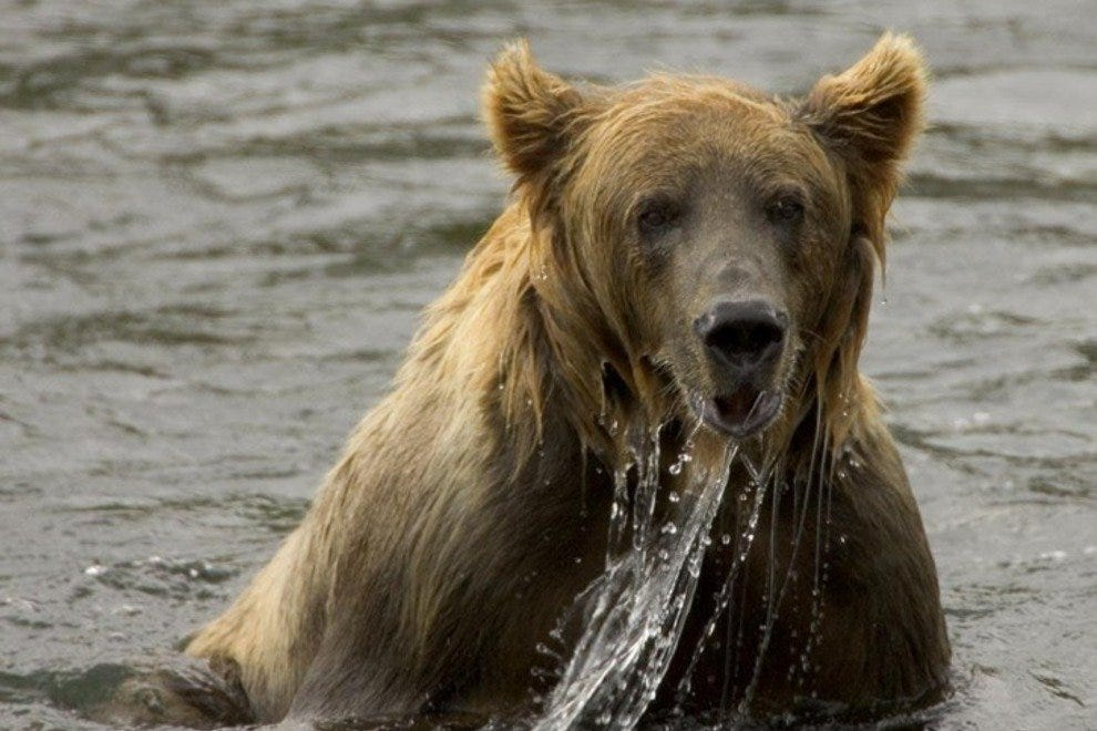 Cool waters are refreshing for Brown bears