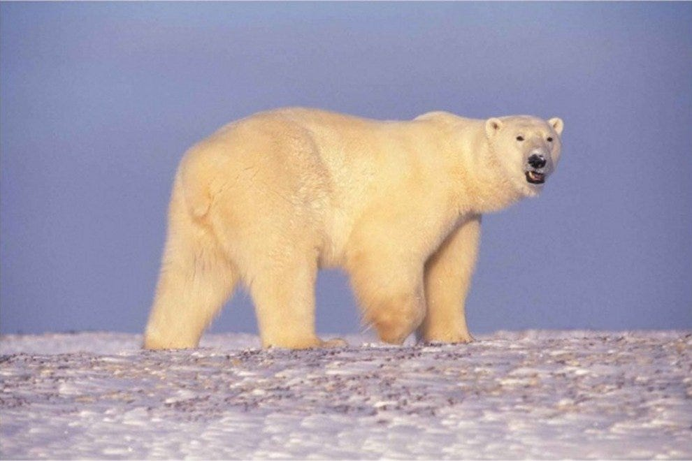Polar bears bring grace and awe to the Arctic