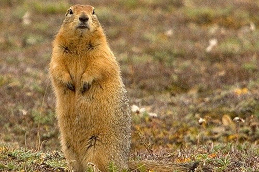 The Arctic Ground squirrel sleeps for more than half the year