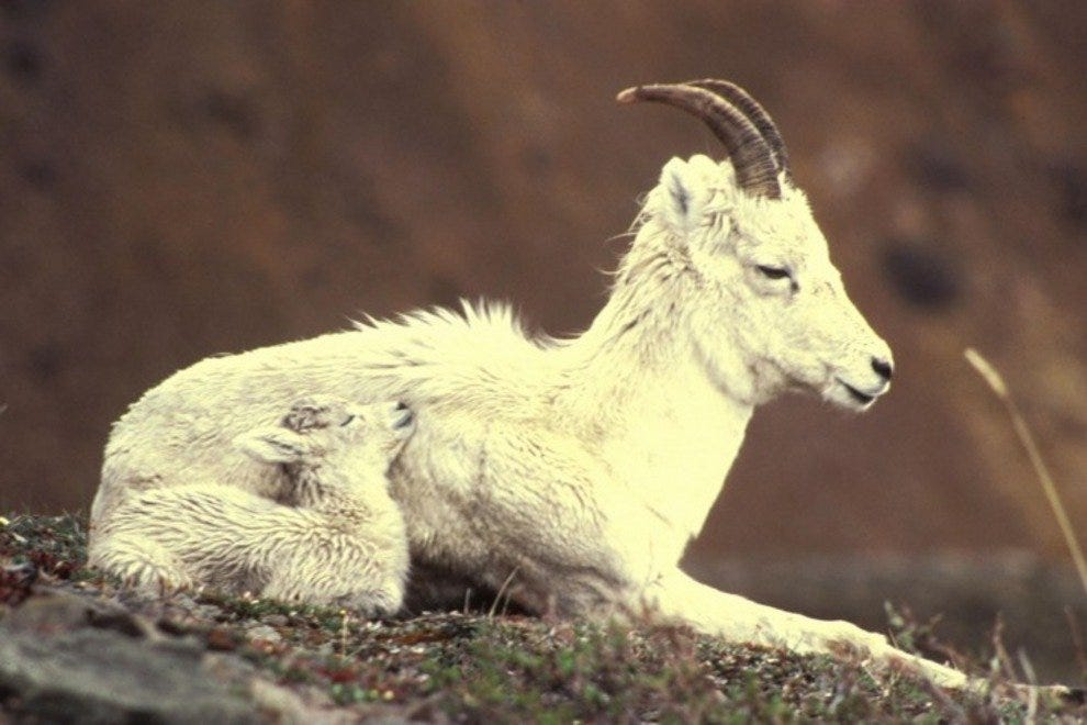 The Dall sheep proves that fancy footwork is key