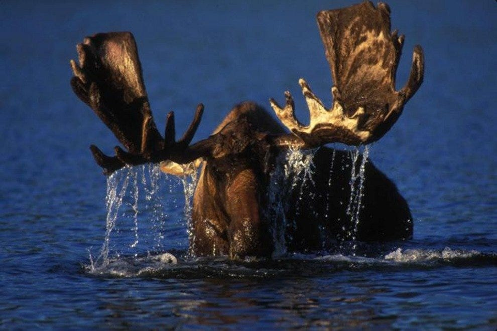 If you've ever been charged by a moose, you will know why it's referred to as a bull