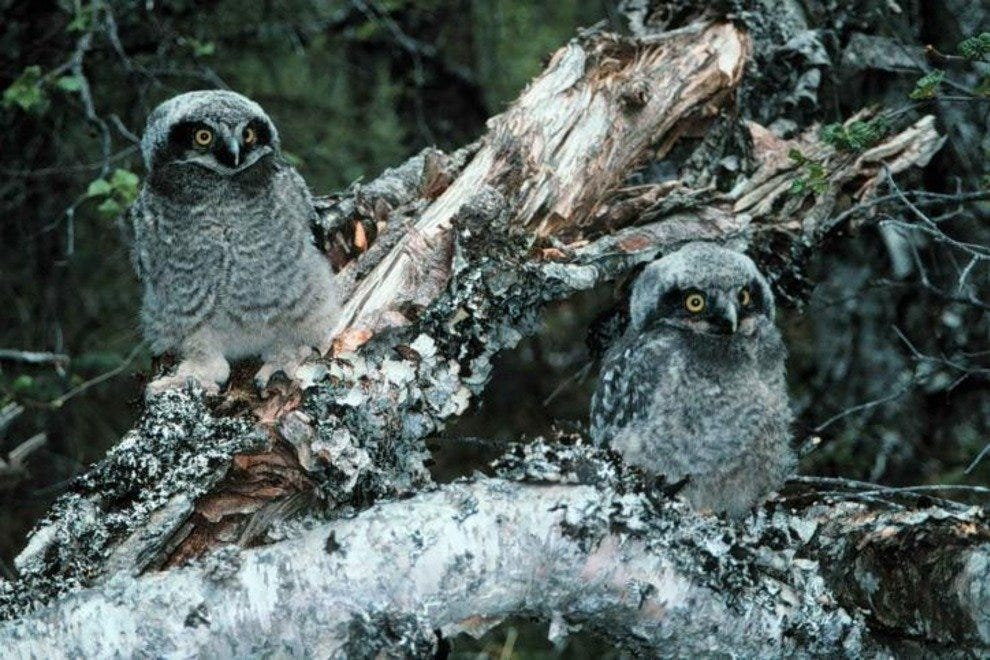Northern Hawk owls bring beauty to the forest