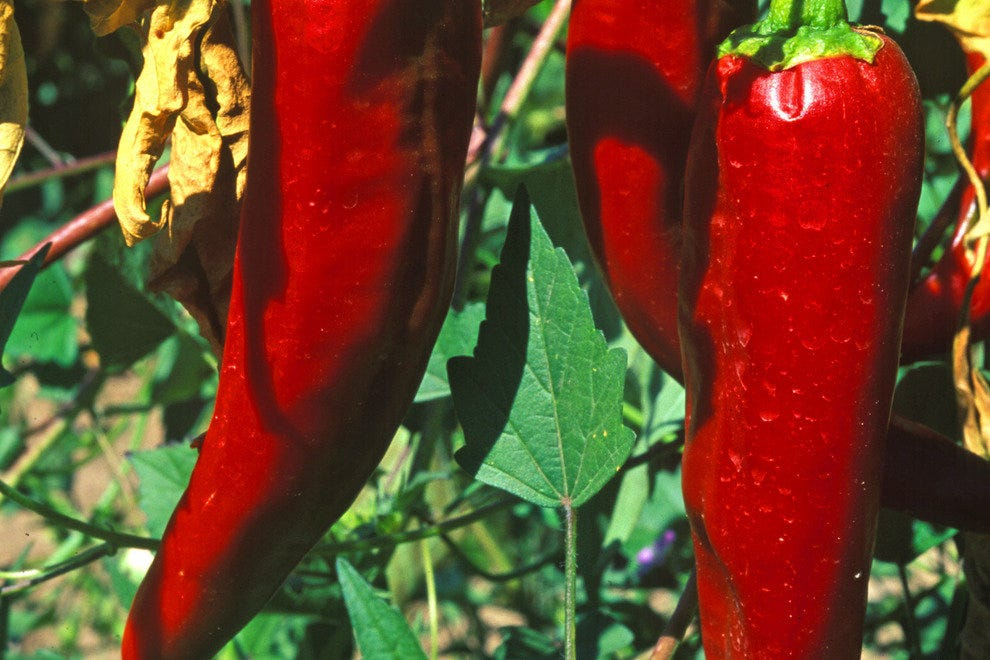 Ripe chiles in the field