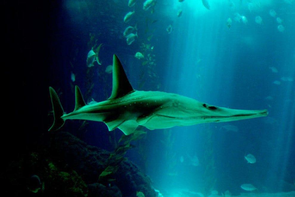 光滑的鲨鱼,在里斯博亚海洋学发现的众多物种之一