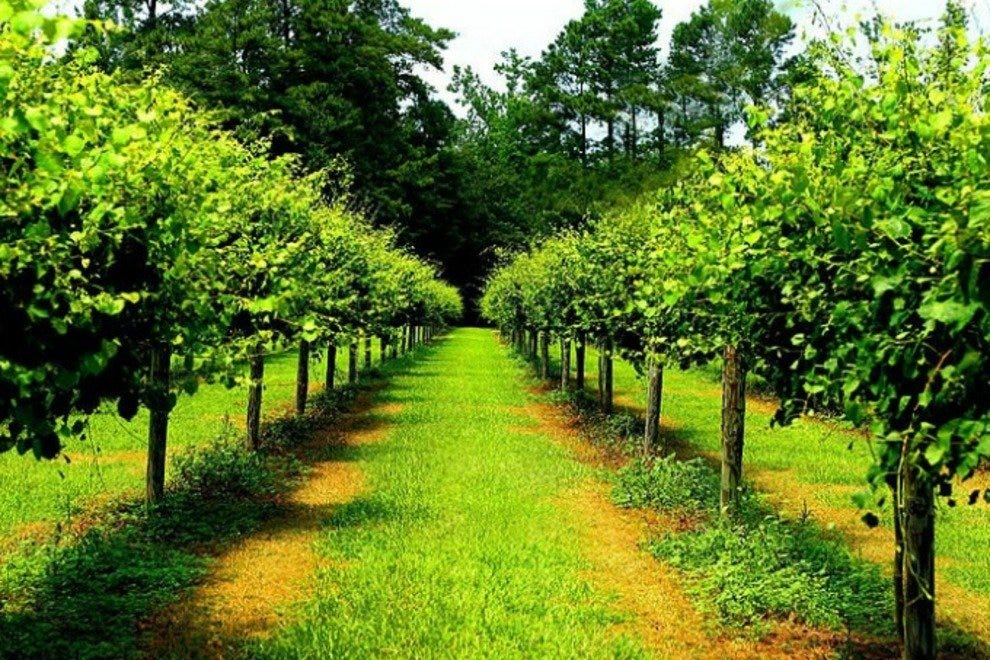 Scuppernong grape vines at Duplin Winery in Rose Hill, NC.