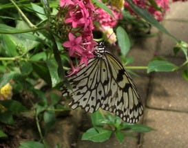 Flutter Around Westford's Butterfly Place