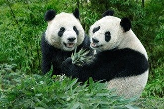 Giant Pandas Arrive At Singapore Zoo