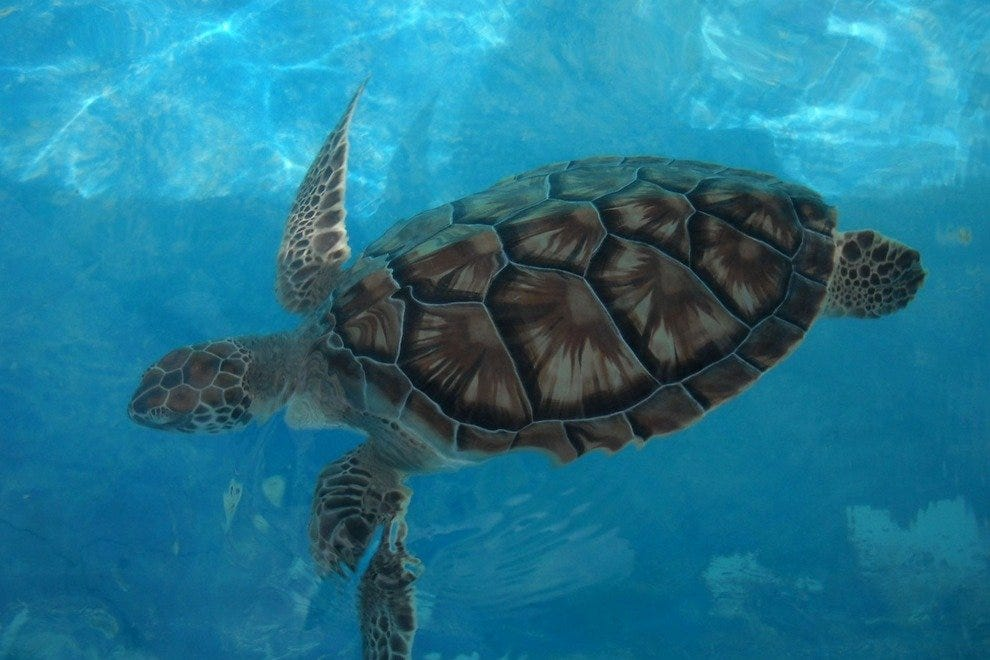 Visit turtles at Tortugranja before they are released into the Caribbean Sea