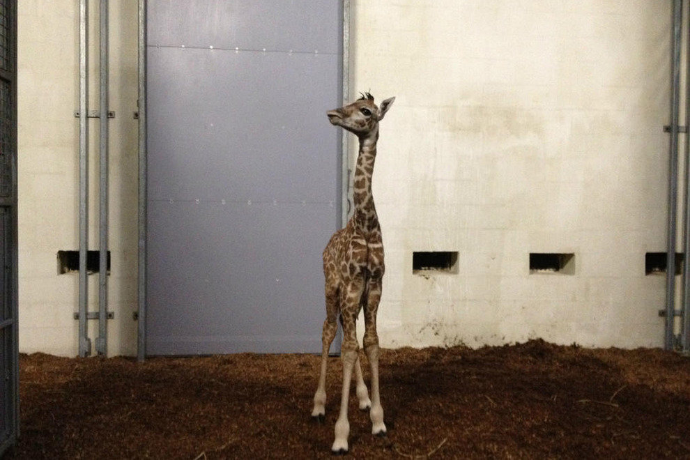 Baby Giraffe at Greenville Zoo