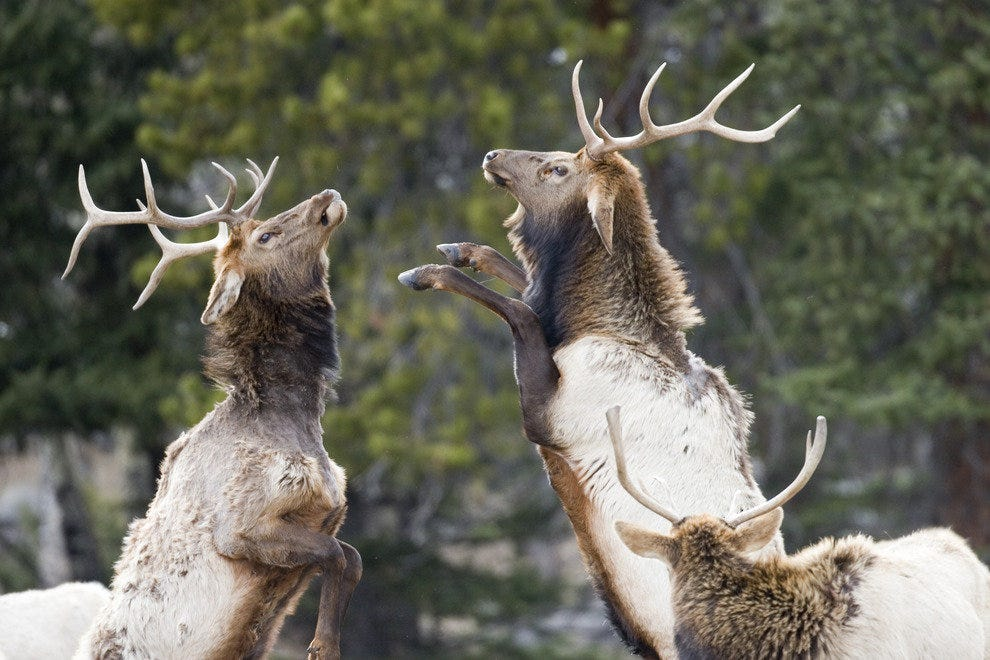 Elk in Rocky Mountain National Park vie for dominance with a grand display