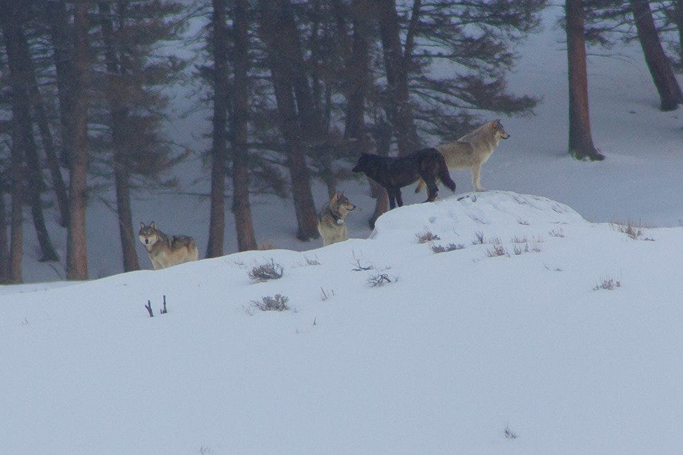 Wolf pack in Lamar Valley