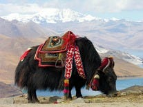 Yak Having a Snack at Yundrok Yumtso Lake, Tibet