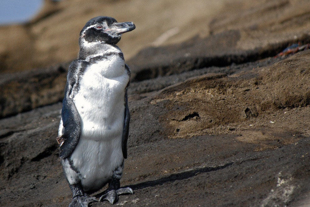 Penguin on Isabela Island