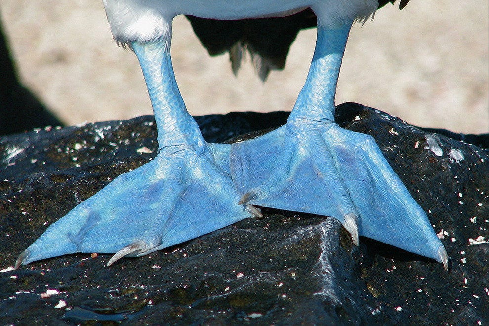 Blue footed bobby