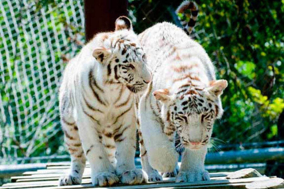 A pair of white tiger cubs at Lisbon Zoo