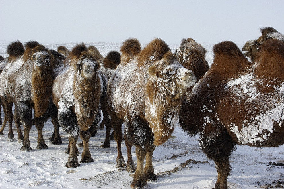Mongolian camels in the desert south of Ulan Bator