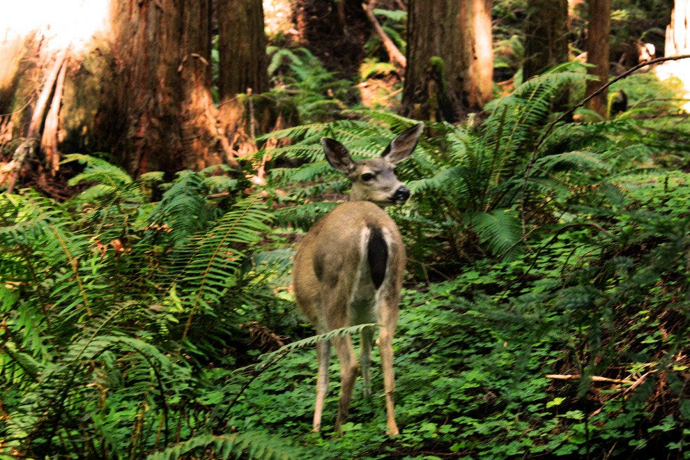 A Surprised Deer Meets the Camera in Muir Woods National Monument