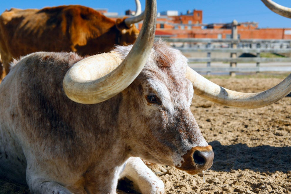 Longhorn at the historic Stockyards