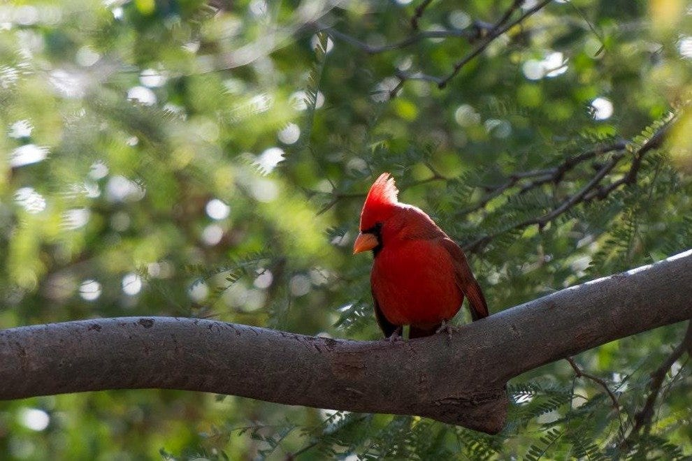 The Desert Botanical Garden in Phoenix might be the only place in the city where you can catch a glimpse of a Northern Cardinal.