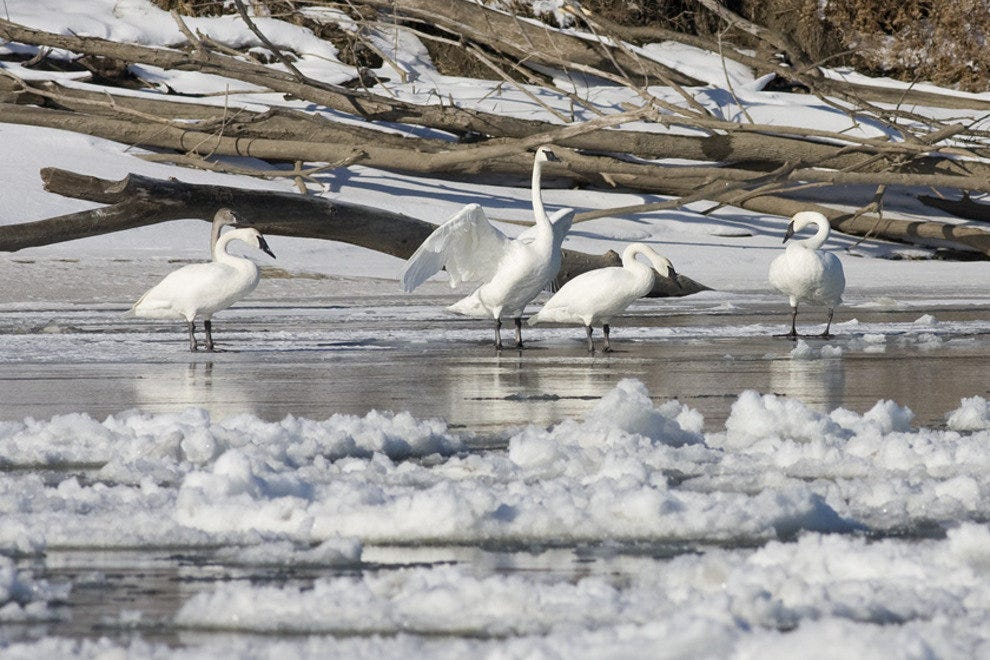 Tundra Swans on Missouri River