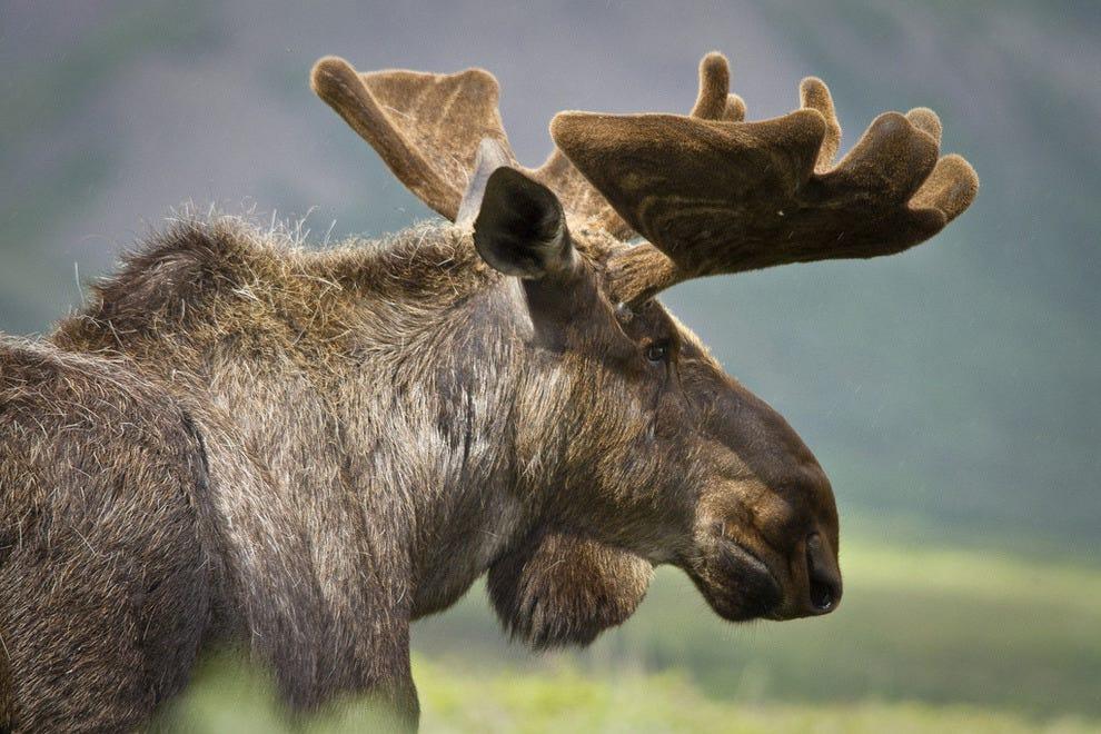Profile of a moose