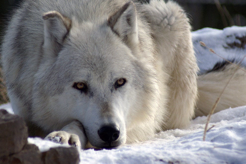 A gray wolf in Yellowstone National Park
