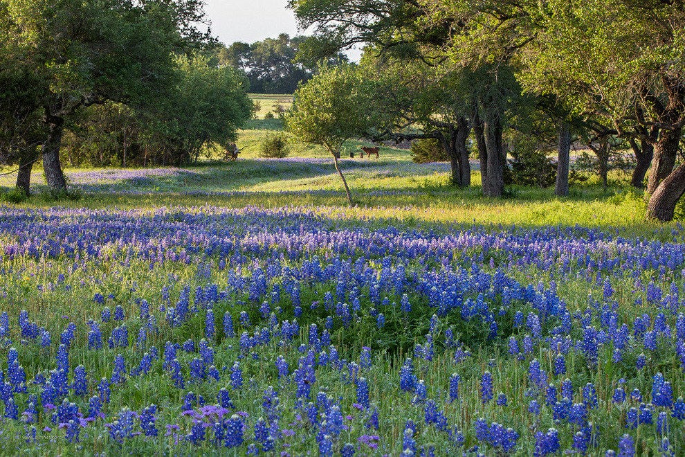 Bluebonnet field in Driftwood, Texas