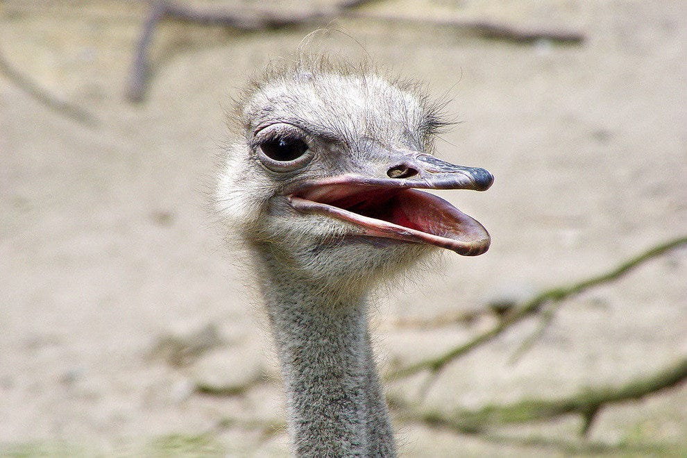 Ostriches look cute but are unpredictable