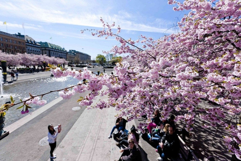 Stunning cherry blossoms bloom at Kungstradgarden