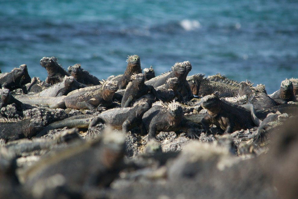 Galapagos marine iguanas warm up after diving for algae on Fernandina Island