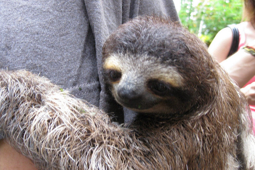 Sloth at the Jaguar Rescue Center
