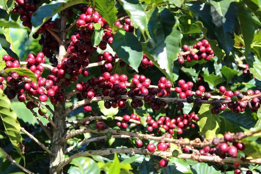 Coffee fruit on the tree
