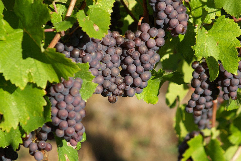 Michigan grapes ready for harvest