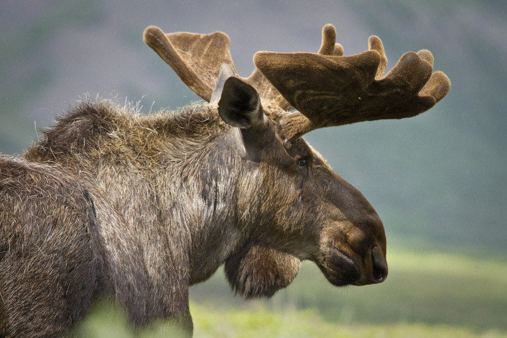 Male moose in Denali National Park