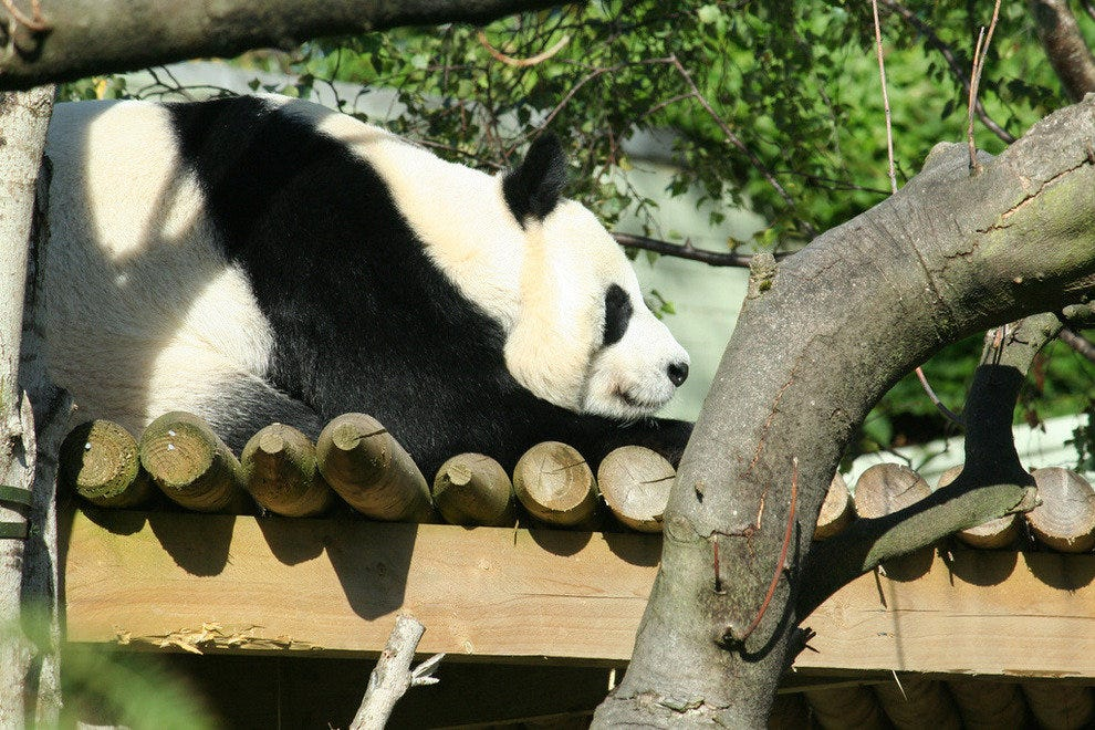 One of the Edinburgh pandas relaxes in the sun.