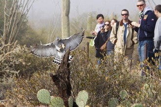 Raptor Free Flights Return to the Arizona-Sonora Desert Museum