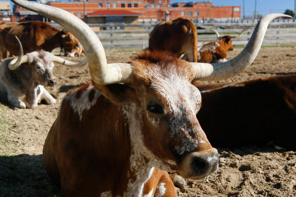 Longhorn cattle at the Fort Worth Stockyards