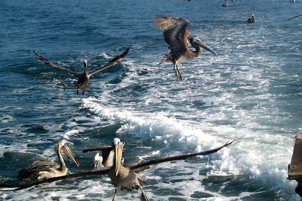 Pelican Pow Wow, off the San Diego coast