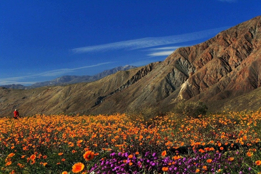 Borrego springs ca where desert flowers spring to life trip natures springtime masterpiece desert wildflowers mightylinksfo