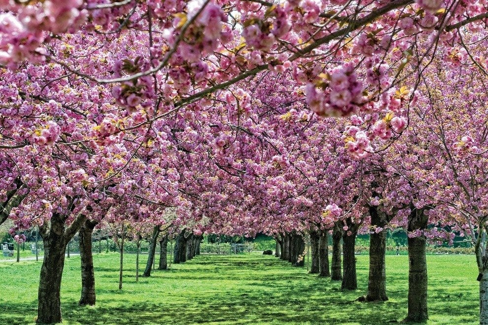 Washington DC Cherry Blossoms: The Ultimate Guide To Visiting