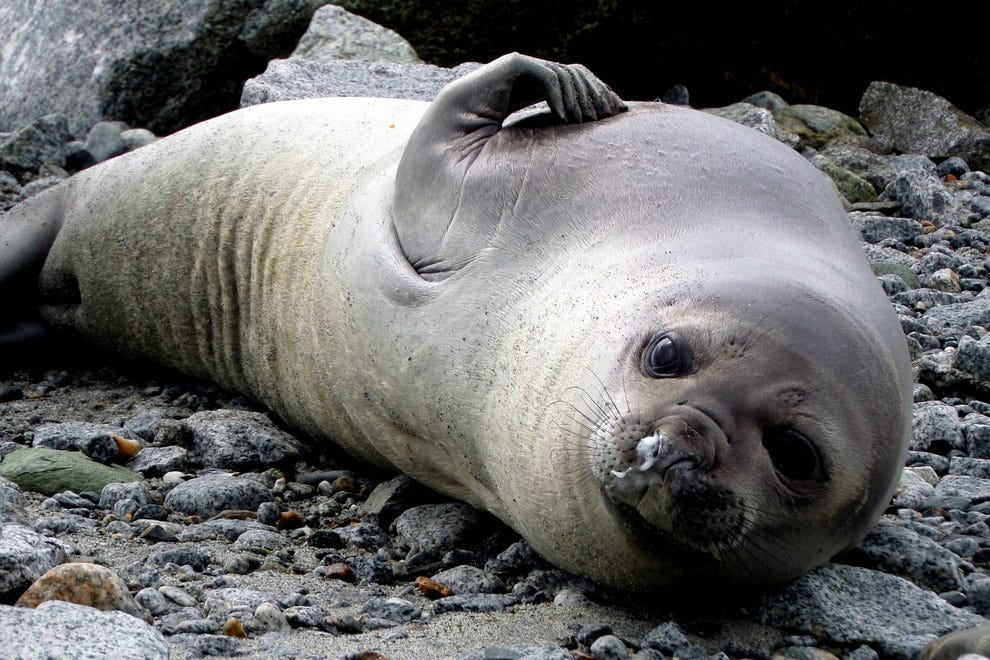Elephant seals are native to the area