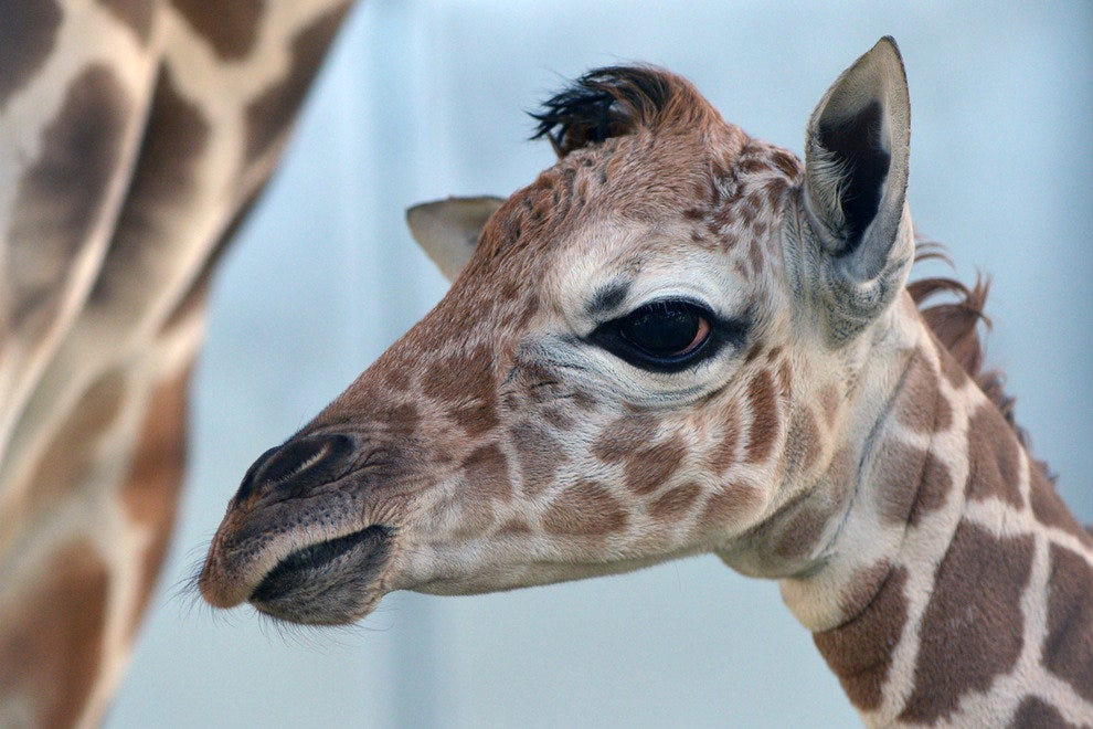 The Living Desert welcomes a newborn giraffe.