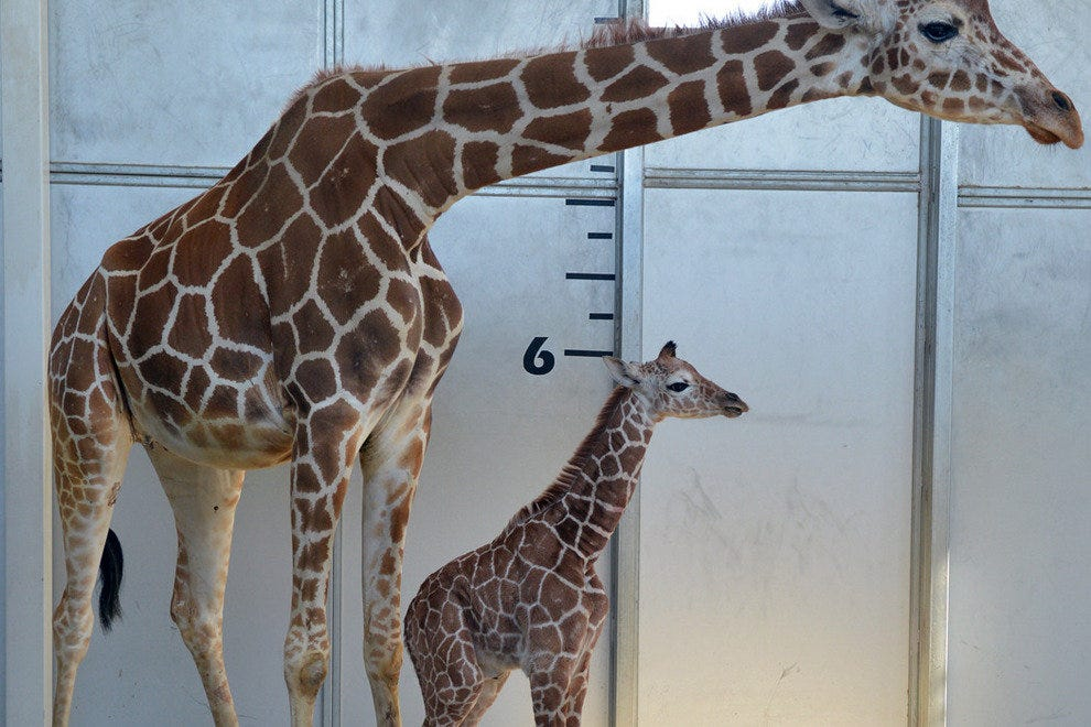 The young giraffe has some growing to do.
