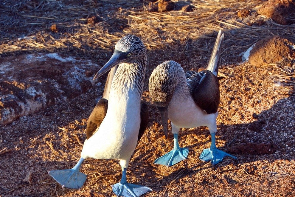 Blue-footed booby mating dance, San Cristobal island