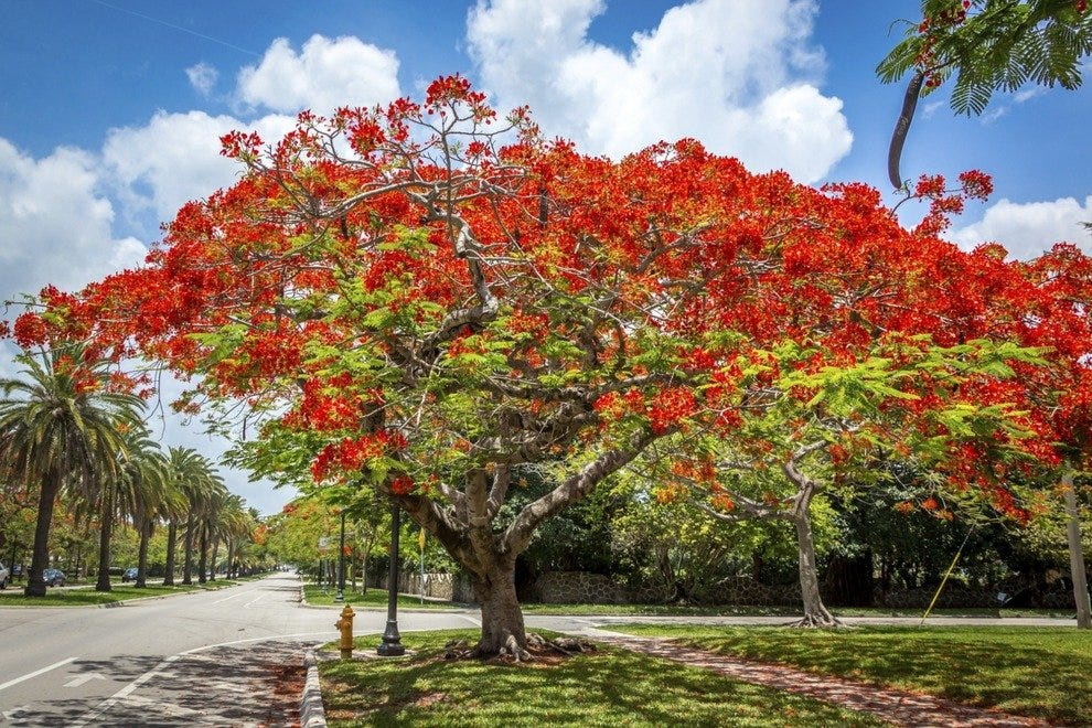 Poinciana Trees - Southwest Florida