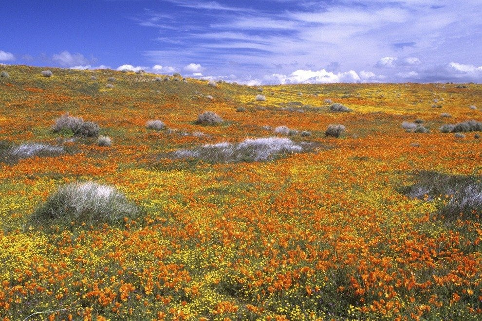 California Poppies - Southern California